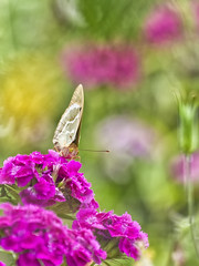 Time for lunch... (Ivo Angelov) Tags: butterfly insects instantfave fly flowers floret flower flor flores flowering flickrcom flickrsbest colors color pentax k5 ii sigma 70300 photography photos photoshop goldenphotographer ivoangelovphoto ivo nature naturesfinest macro kavarna bulgaria beautiful bokeh green