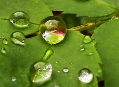 Droplets (digikuva) Tags: reflection leaves finland lumix leaf helsinki europe heiluht refraction droplet fz7 imgp8704
