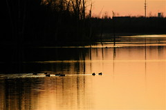 Grouping For The Night  (mightyquinninwky) Tags: trees sky water clouds reflections evening december kentucky ducks lexingtonky richmondroad waterfowl waterbirds grouping fayettecounty swimmming centralkentucky ellserlielake