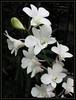 Dendrobium 'White Pagoda'