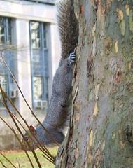 Squirrel on Sycamore