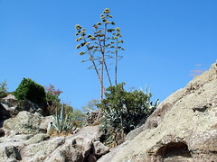 Agave americana (Sleyman) Tags: cactus cacti turkey succulent ruins trkiye tomb agave opuntia cactaceae pricklypear habitat bodrum agaveamericana karya halicarnassus opuntiaficusindica caria rocktomb