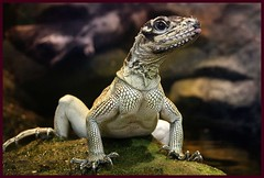 """Arnold"" (hvhe1) Tags: nature animal animals quality wildlife lizard specanimal animalkingdomelite abigfave hvhe1 hennievanheerden"