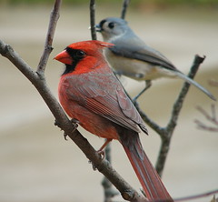 Room For Two (Trish Overton) Tags: male bird birds ilovenature cardinal indiana titmouse tufted mywinners abigfave abigfav impressedbeauty