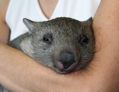 Wombat snuggling