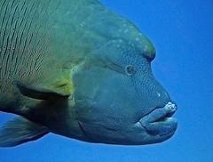 napolenonfisch
