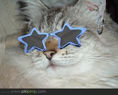 I'm a Star..... (OringeJellow) Tags: cat lucy feline kitty gato stardom katz 2007 birman impressedbeauty tunafished lucygirl pikipimped