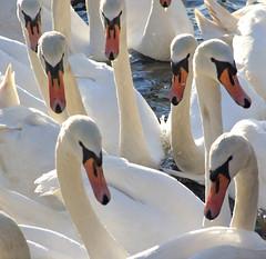 November 2 (Viche) Tags: white scotland swan edinburgh swans interestingness6 stmargaretsloch