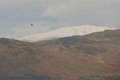 Hawk (Mac ind g) Tags: winter mountain snow bird marilyn walking landscape scotland hawk trossachs balloch kestrel corbett thetrossachs benledi lochlomondandthetrossachsnationalpark