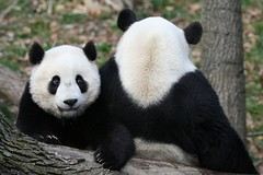 Mommy the camera is pointing this way (somesai) Tags: animal animals smithsonian panda endangered pandas butterstick animalkingdomelite