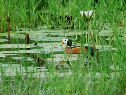 African Pygmy-goose