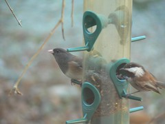 Dark-eyed Junco, Chestnut-backed Chickadee