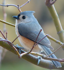 Poser (Trish Overton) Tags: tree bird birds ilovenature japanese maple indiana titmouse tufted helluva blueribbonwinner outstandingshots animalkingdomelite abigfave outstandingshot beautyineye helluvablogadminfave