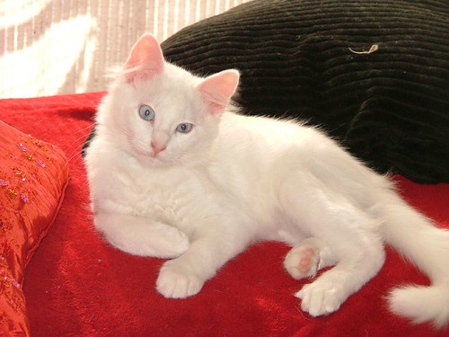 Is My Cat A Cross Breed Of An Angora Turkish Turkish Cat Van And