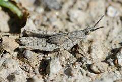 Grasshopper instar (Bob Reimer) Tags: fieldtrip grasshopper oman acrididae instar enhg wilayatmahdah afrathe