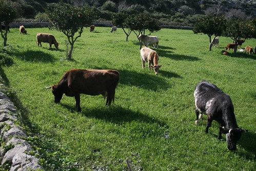 Cows and oranges - Sicily!