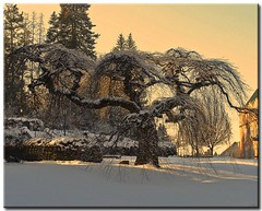 Golden Glow (Roger Lynn) Tags: winter snow tree moscow idaho universityofidaho twisted palouse camperdownelm