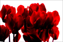 dark heartness (sharply_done) Tags: flowers red white hearts sharplydone