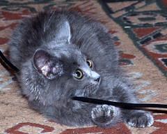 mischief! (EssjayNZ) Tags: cute tag3 taggedout cat grey kitten pretty tag2 tag1 gray fluffy essjaynz 2007 taken2007 sarahmacmillan