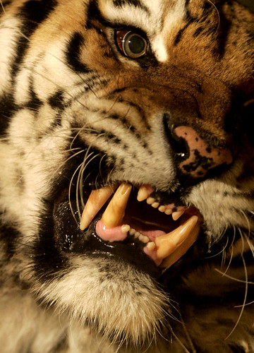 Dani, el tigre eslovaco