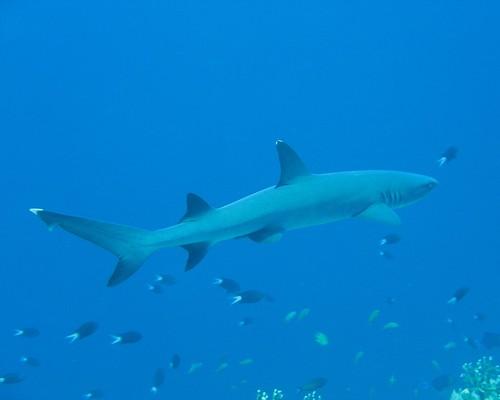 tiburón en Tubbataha