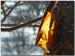 Glowing Bark (detail) (Roger Lynn) Tags: winter sunlight snow tree glow moscow arboretum idaho bark universityofidaho palouse mybestimageforfebruary2007