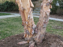 image Betula nigra bark, trunks