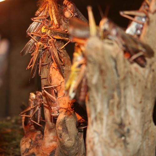 Locusts #4