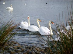 Broadwood Loch (Lidwit) Tags: nature geotagged scotland wildlife north swans fav loch lanarkshire naturescene broadwood