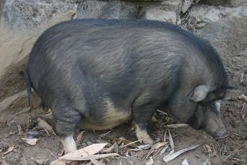 Hängebauchschwein...