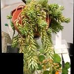 Succulents - Donkey's tail cactus thumbnail