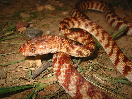 Pictures Of Snakes To Colour In. Brown tree snake (Boiga