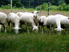 Five Things You Should Know About Sheep Behavior