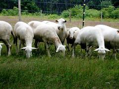 Katahdin flock