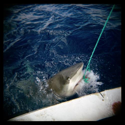 A Hooked Galapagos Shark in Hawaii