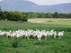 Sheep in Virginia