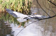Grey Heron in Globe Pond