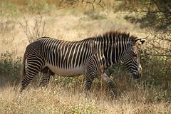 Grevy's zebra (imanh) Tags: africa nature kenya wildlife natuur zebra afrika samburu kenia equus iman grevys grevyi heijboer grévyzebra imanh