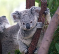 Cutest Koala (Erik K Veland) Tags: pet baby pets tree cute nature animal animals fur gold coast bucket bush furry soft teddy native wildlife australian fluffy australia olympus explore koala teddybear qld queensland mostinteresting e300 cuteness topf150 marsupial southaustralia cutest sanctuary  herbivore bushfire currumbin goldcoast koalas dropbear babyanimals currumbinwildlifesanctuary  animallovers cotcmostinteresting parkstock babykoala phascolarctoscinereus nativeanimals interestingness16 i500 bushbabies phascolarctidae  impressedbeauty superaplus aplusphoto explore16mar07   akoalaisnotabear