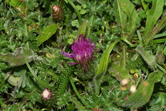 996222639 Dwarf_Thistle 2007-07-31_19:53:55 Bald_Hill