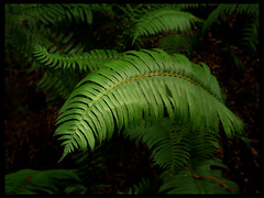sword fern (MistyDays / CB) Tags: california fern macro green nature 50mm olympus muirwoods swordfern redwoodforest e500 understory olympuse500 polystichummunitum 123nature charleneburge 1on1nature stormygirl 123faves yellowstoneloon
