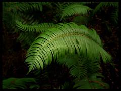 sword fern (MistyDaze) Tags: california fern macro green nature 50mm olympus muirwoods swordfern redwoodforest e500 understory olympuse500 polystichummunitum 123nature charleneburge 1on1nature stormygirl 123faves yellowstoneloon