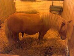 Hung Horse (chrisjmorgan) Tags: park horse cute animal penis zoo donkey pony thorpe theme willy hung chrismorgan