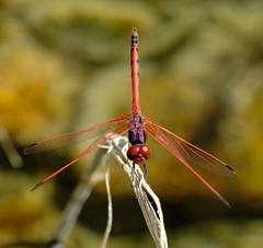 Trithemis arteriosa (Bob Reimer) Tags: dragonflies fieldtrip oman odonata nikonstunninggallery enhg asubaitah trithemisarteriosa wilayatmahdah