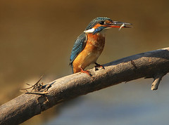 King Fisher (Q8LT.net) Tags: camera fish canon king photographer eating bigma awesome kingfisher fisher 50500 kuwait q8 saleh vwc impressedbeauty  kvwc alghaith