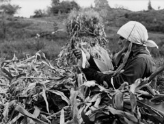 Polish immigrant husking corn (John Collier Jr.) Tags: blackandwhite bw usa history classic film museum america vintage collier us photographer unitedstates propaganda wwii farming documentary patriotic roosevelt historic professional worldwarii 1940s archives maxwell ww2 americana civildefense patriotism archival forties largeformat anthropology homefront worldwar2 40s fsa wartime newdeal owi waryears officeofwarinformation johncollierjr farmsecurityassociation