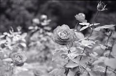 monochrome roses (Screw Mount Leica IIIf) (potopoto53age) Tags: leica flowers roses bw plants plant flower film monochrome rose japan outdoors kodak voigtlander ernst mc artmuseum f25 wetzlar 75mm trix400 leitz iiif colorheliar ernstleitz screwmountleica screwmountleicaiiif voigtlandercolorheliar75mmf25mc