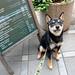 柴犬:フレッシュネスバーガーにて。