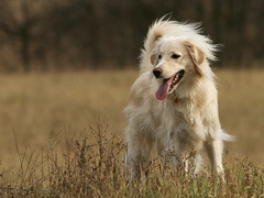 Mieshas walk (Padrone) Tags: goldenretriever retriever 5bestdogs miesha 14extender 70200mmf28lis dogexpressionoftheweek