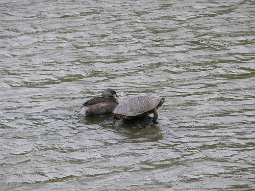 Pied-billed Grebe and Friend